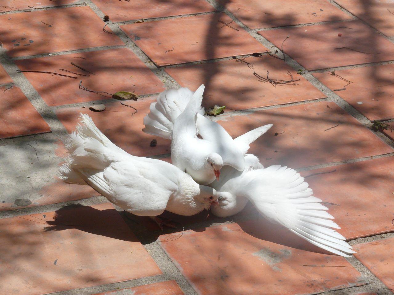Фото голуби порно, молодая дает в анал