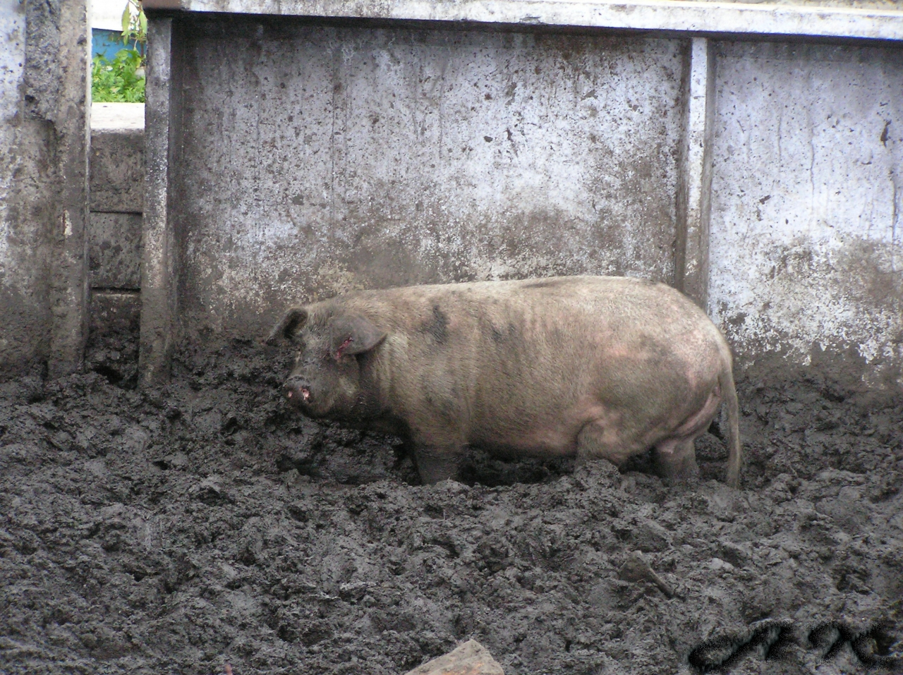 sakh-wolf: -Сам свинья!