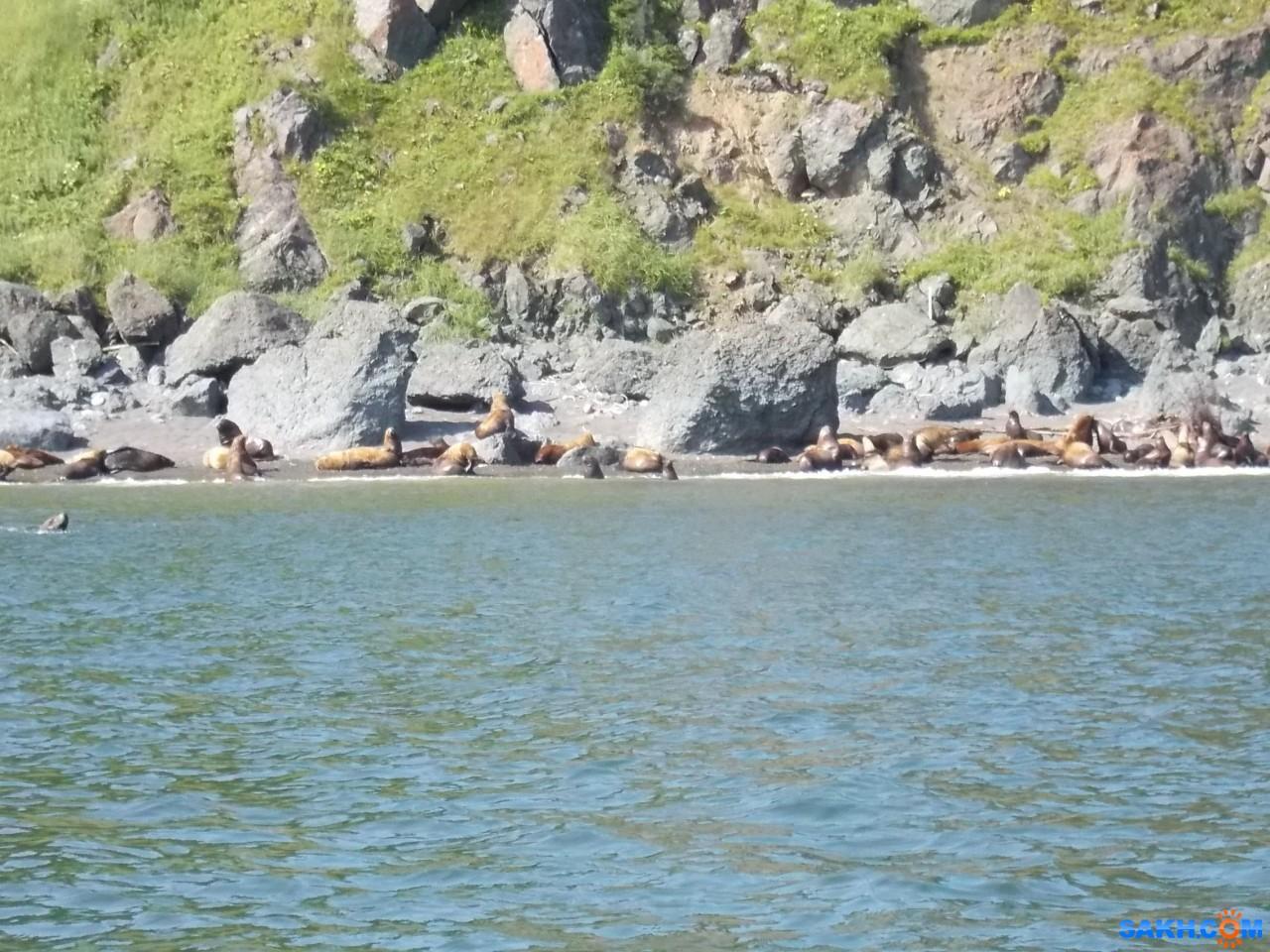 Valery: Сивучи на северо-восточном побережье, южнее мыса Делиль-де-ла-Кройера, 18.08.2015 г.