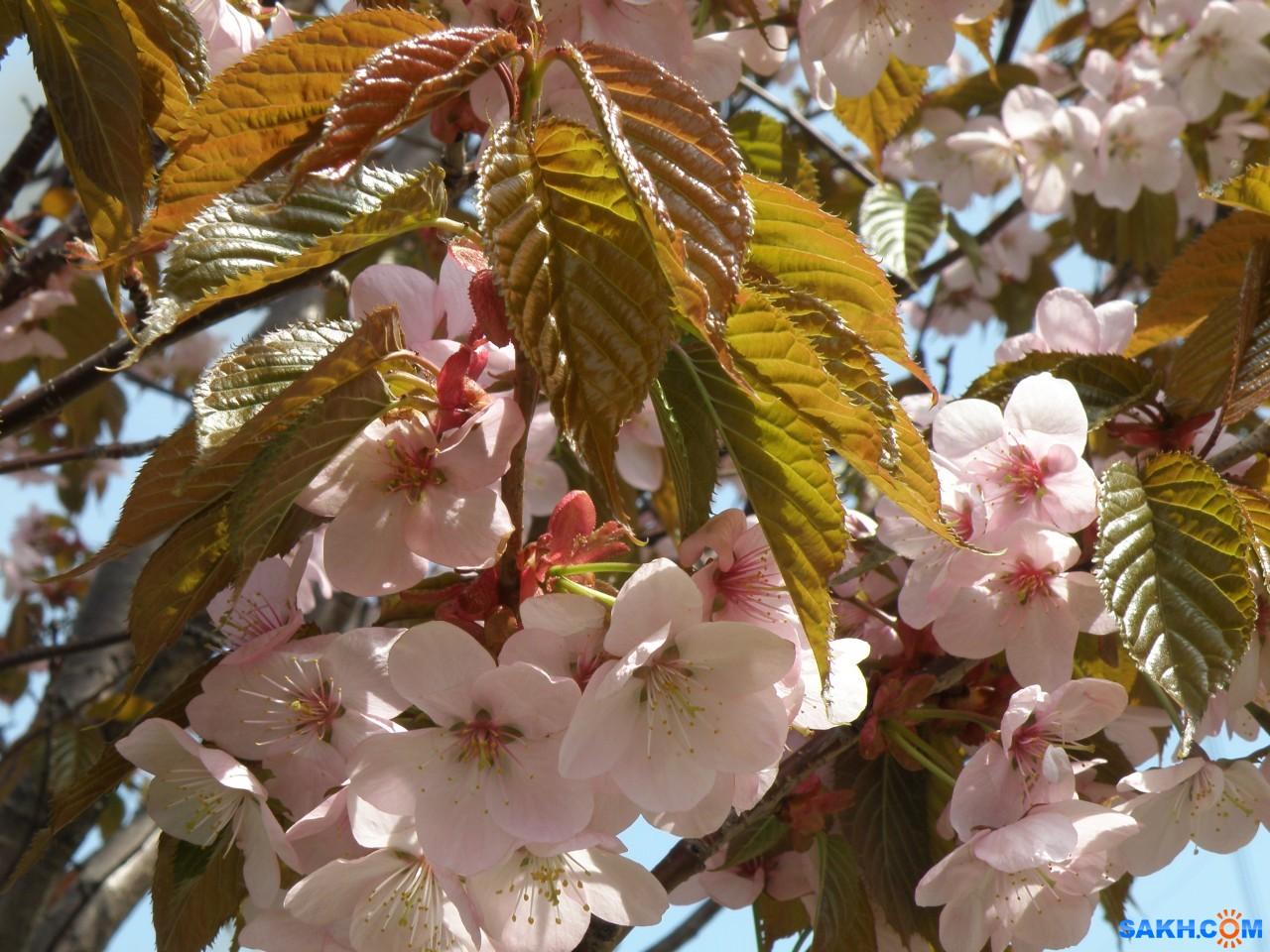 tasya: Цвет сакуры
