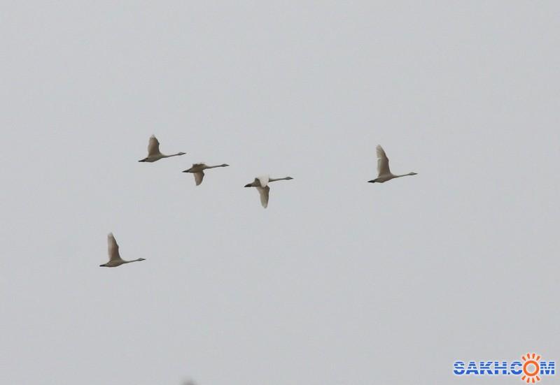 Vitoldovich: В небесах летели лебеди ...