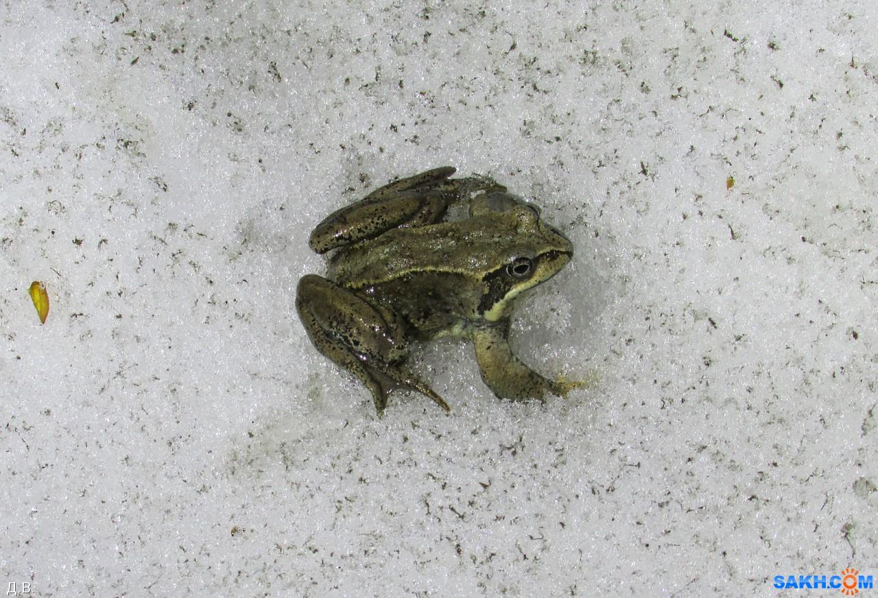 Mitrofan: жабоморж сахалинский