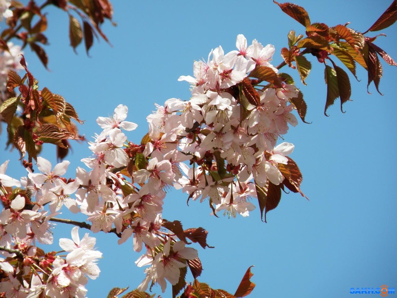 tasya: Сакура цветет