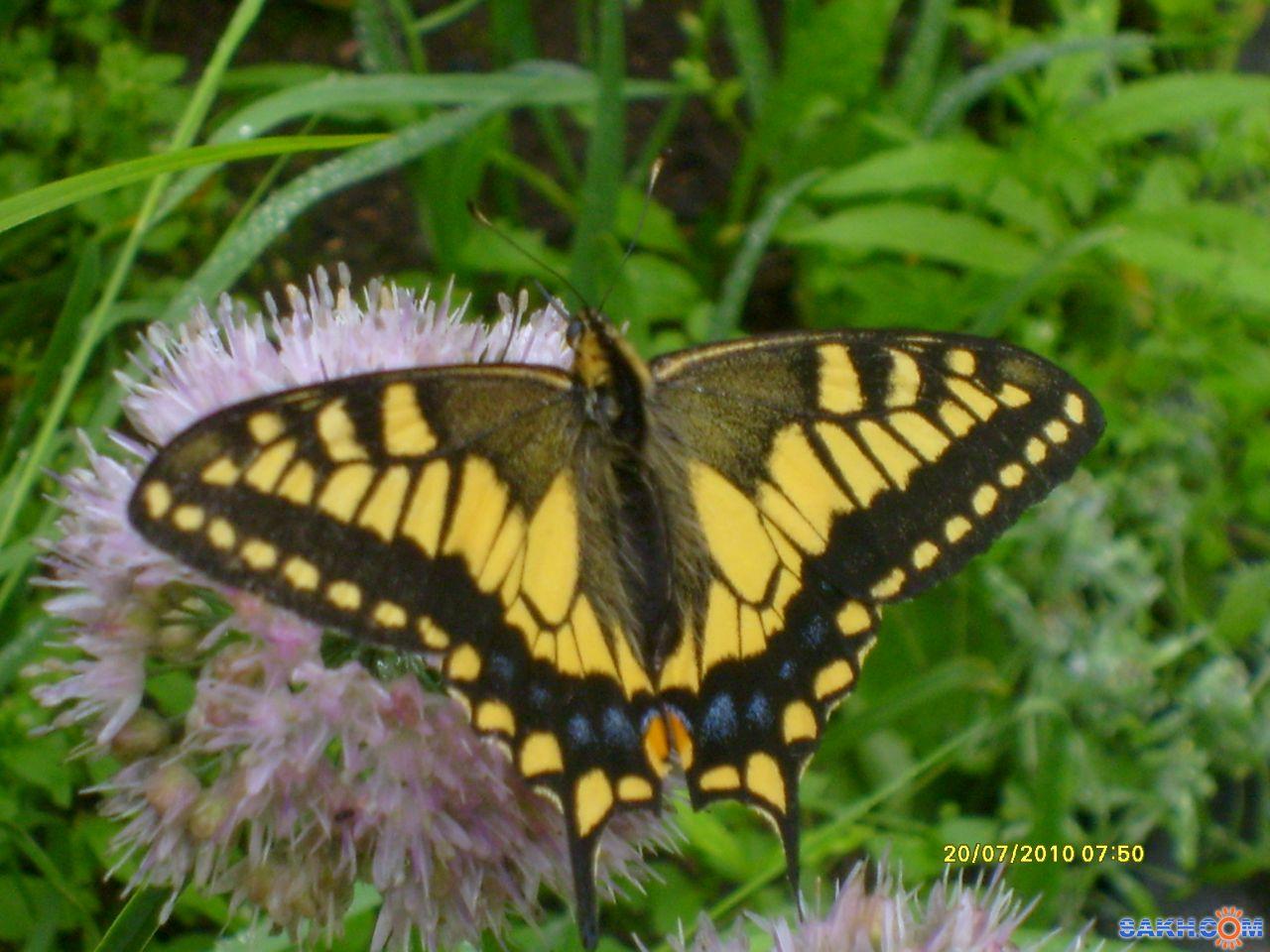 Лика73: Бабочка