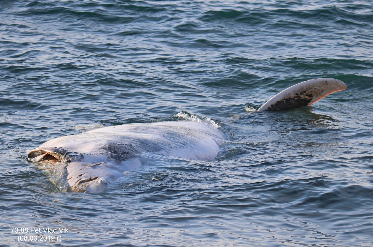 7388PetVladVik: Возле Невельска (Селезнево) к берегу прибило волной какое-то неизвестное  морское животное....