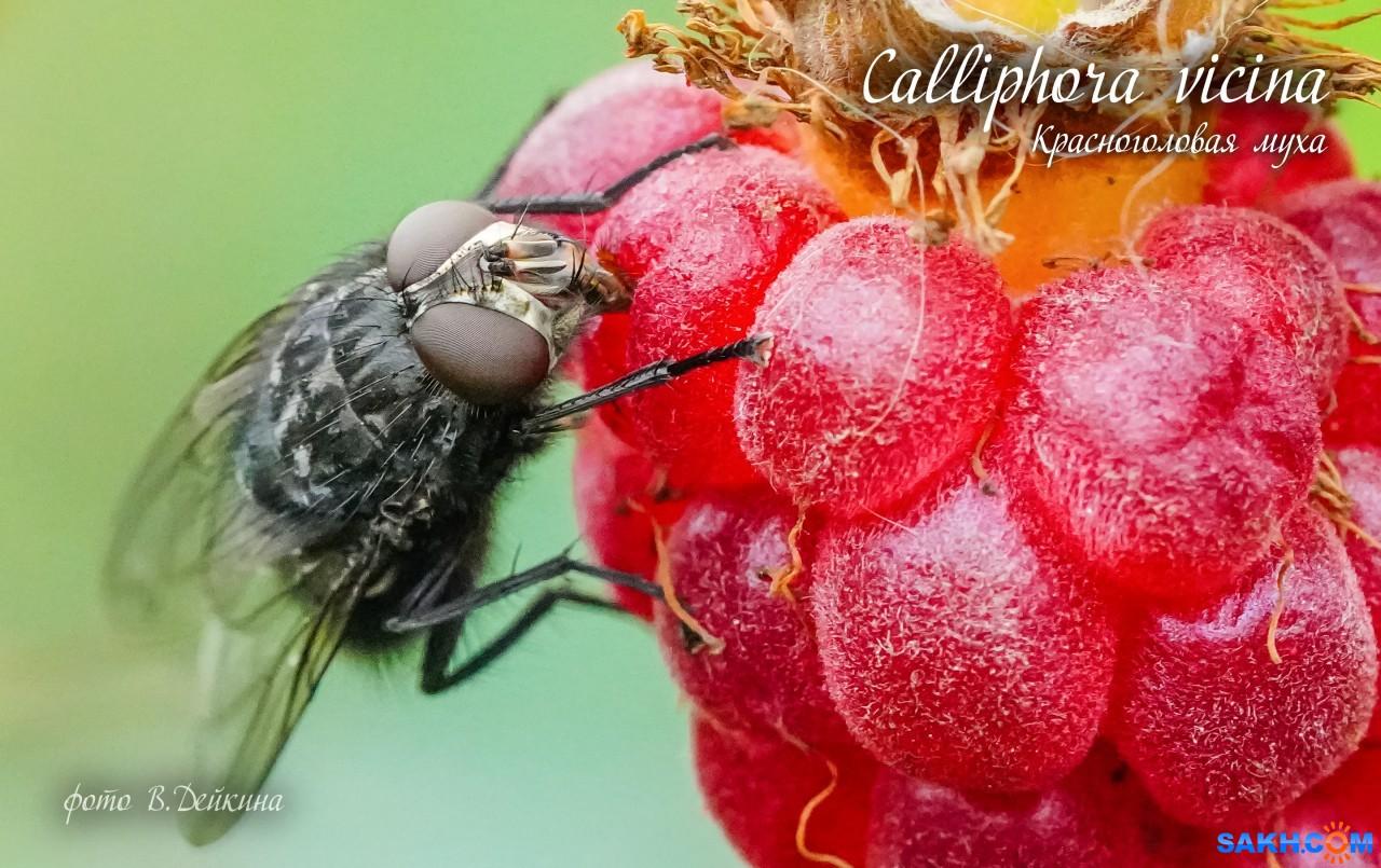 voviksirota: муха красноголовая