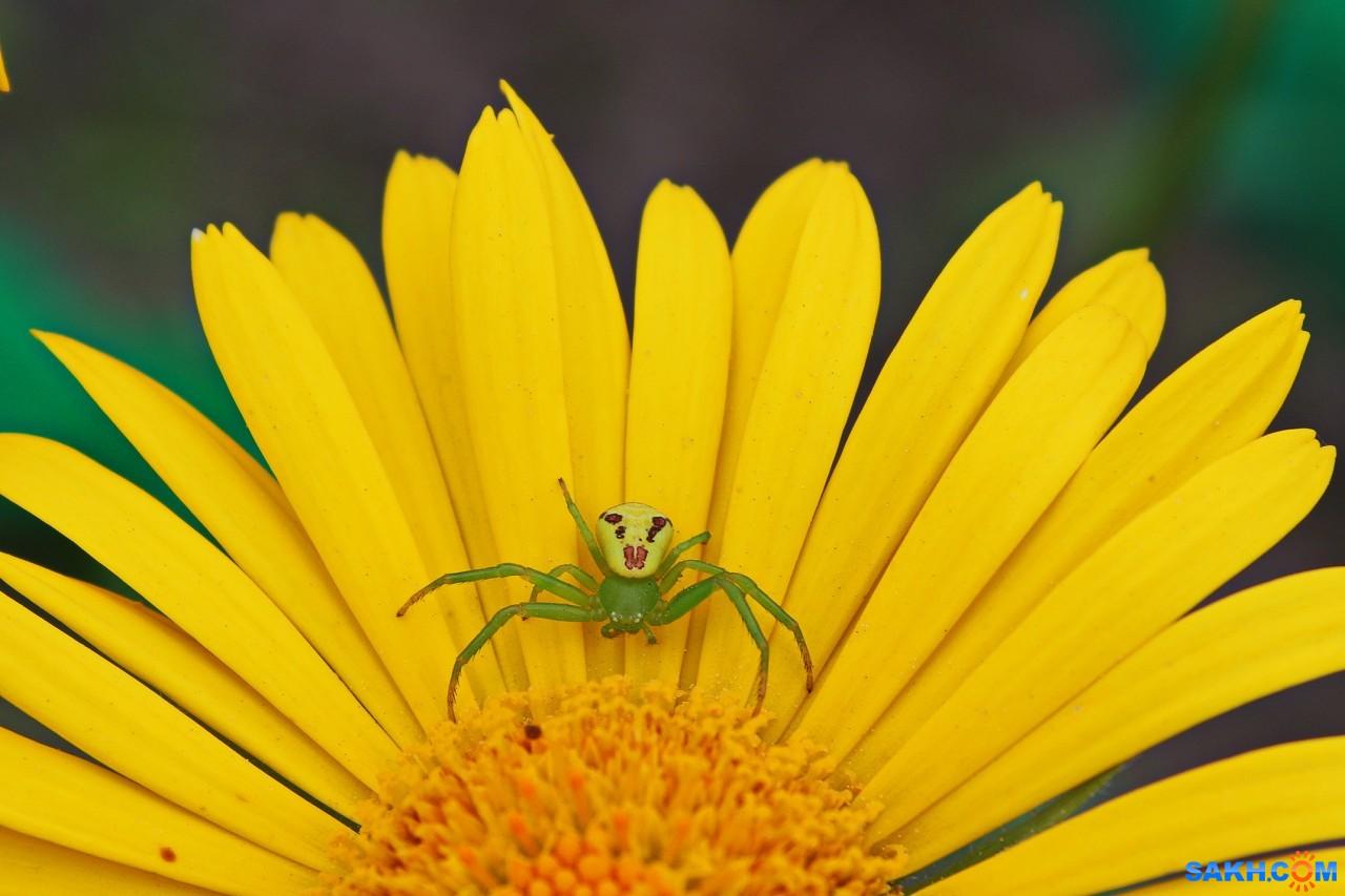 фото цветочный паук