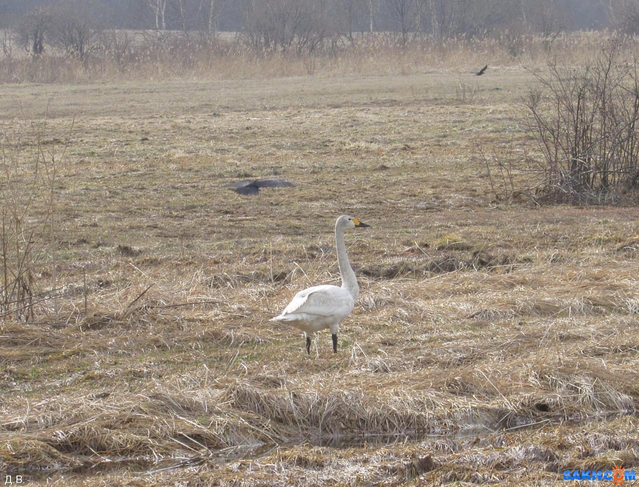 Mitrofan: Лебедь- подранок
