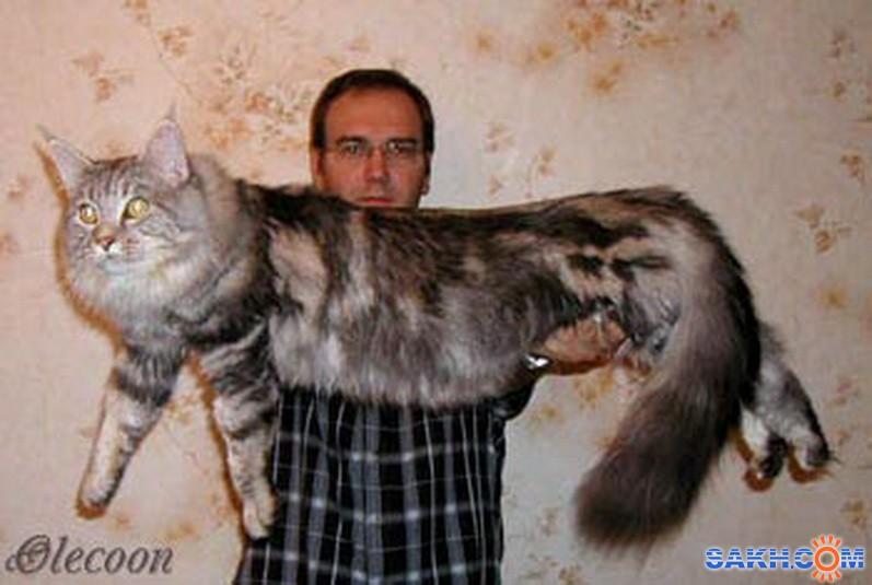 Кот породы мейн-кун ест в три-четыре раза больше своих обычных соро…