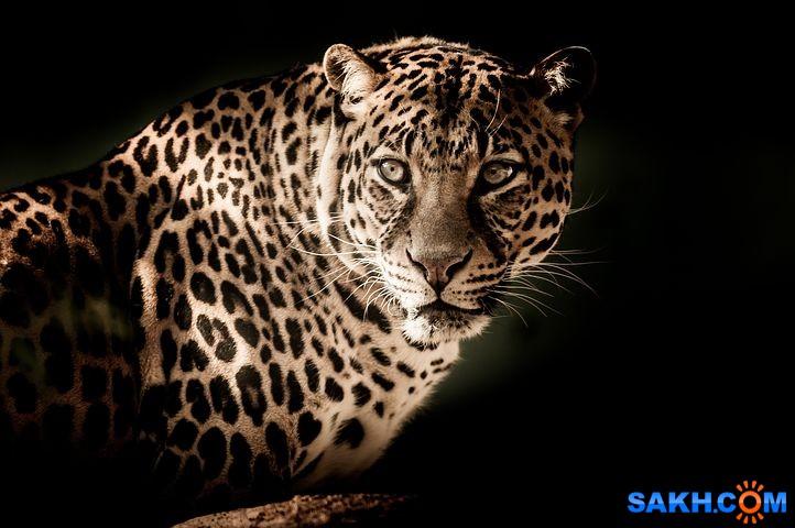 Shastlivaya: leopard-2895448__480