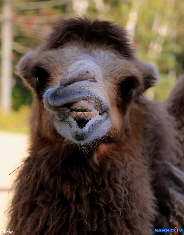 бубас: верблюд