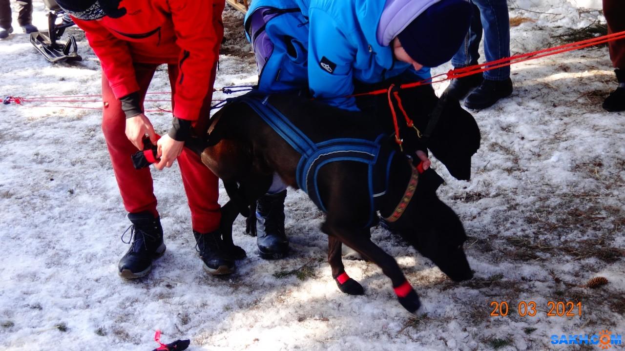 vera.modzhtnok.49: Подготовка собачьей упряжки.