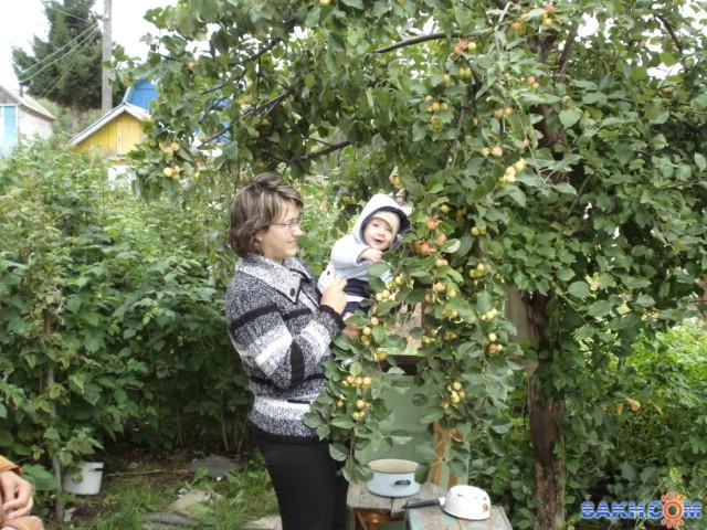antoXas: у яблони