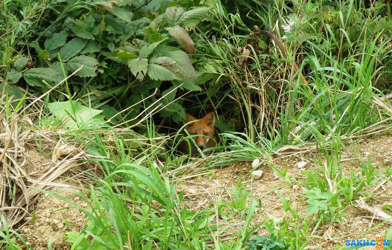 tasya: Вторая лисичка в норке