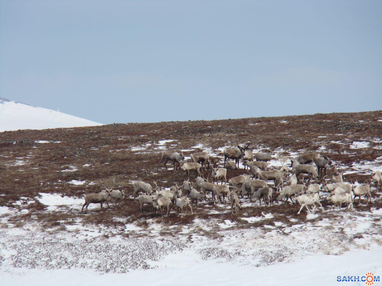 Клио.55: Наши олени. о. Шумшу