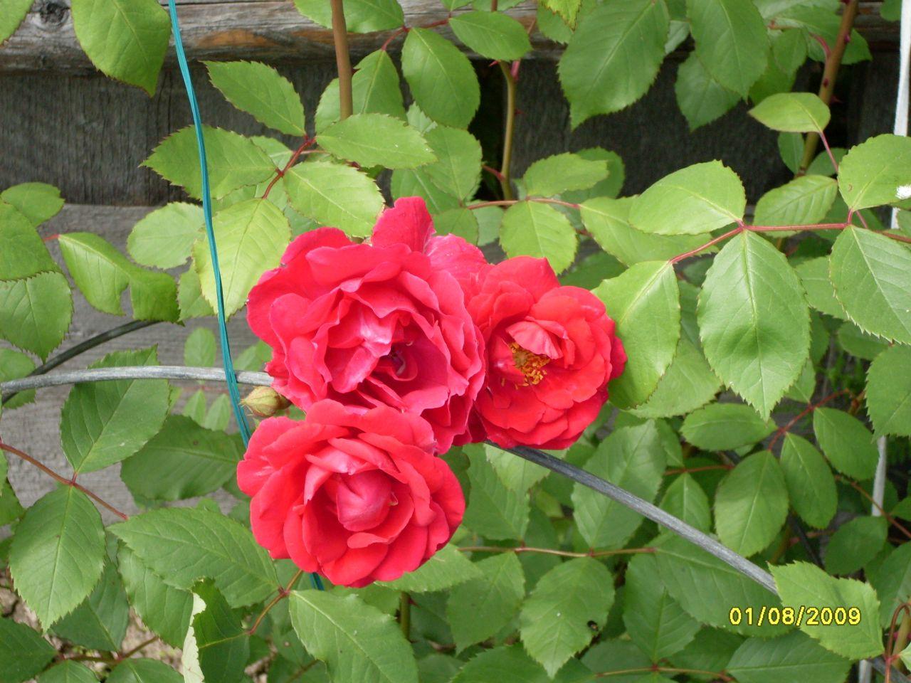 роза плетистая эксцельза