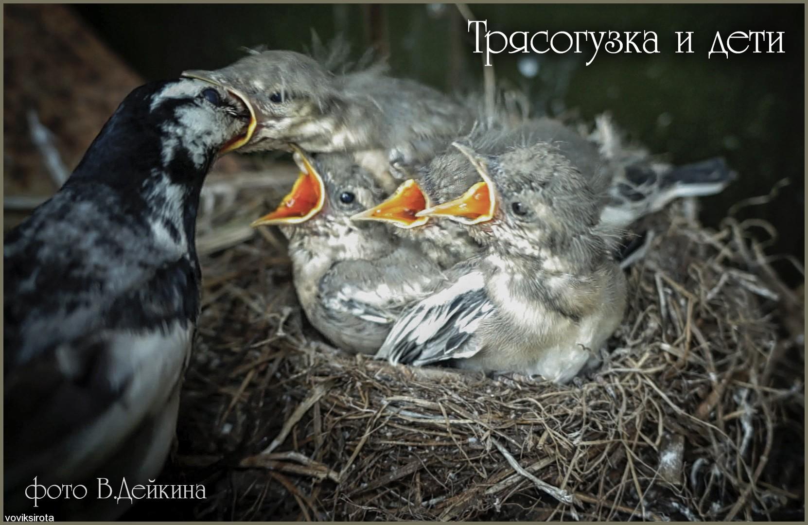 voviksirota: трясогузка и дети
