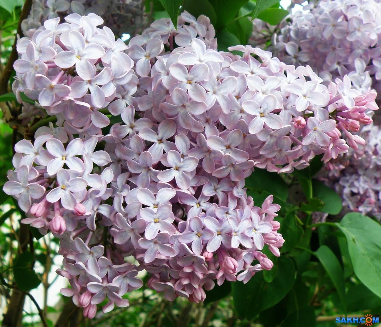 tasya: Сирень вся в цвету