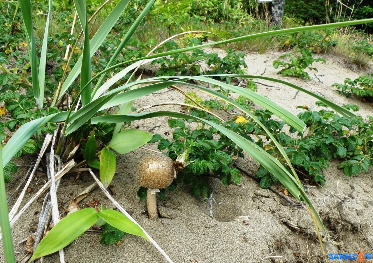 tasya: Гриб в песках