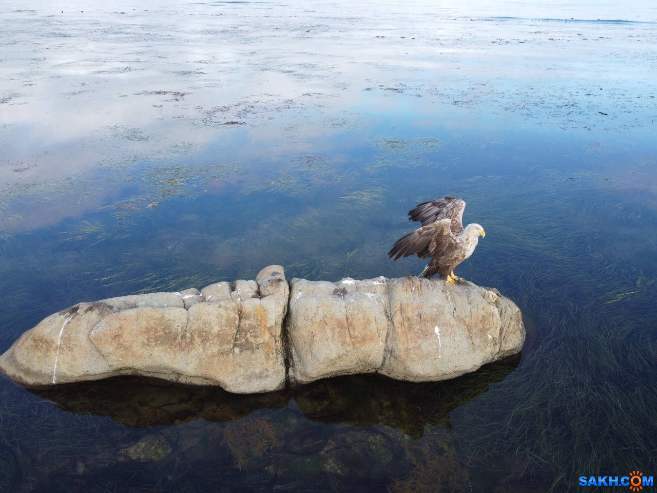 ozzy_link: Белохвостый орлан