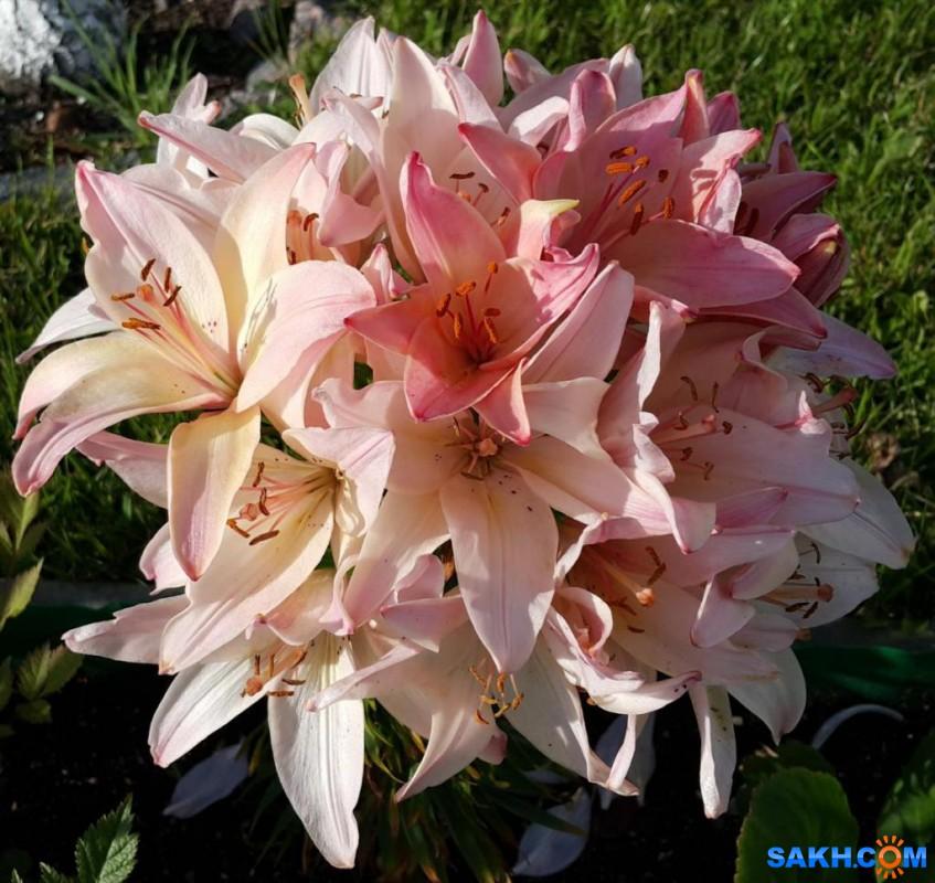 Поступление луковиц лилий, тюльпанов, крокусов, мускарей