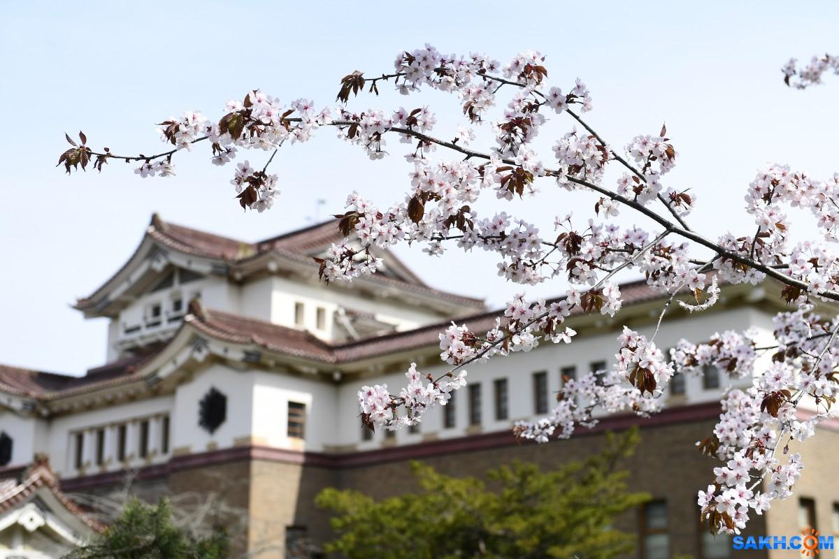 Новые деревья сакуры высадили в Южно-Сахалинске