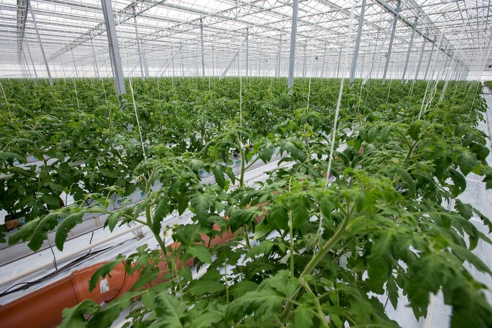 Выращивание овощей на предприятии 776