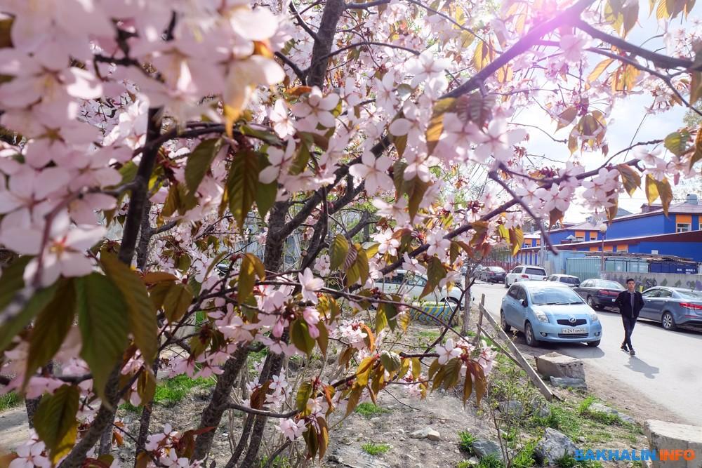 сахалинская весна фото