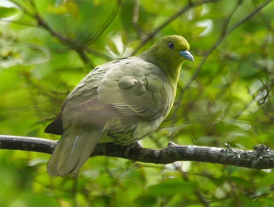 Взрослая самка японского зелёного голубя (Treron sieboldii ). Автор: Игорь Бышнев