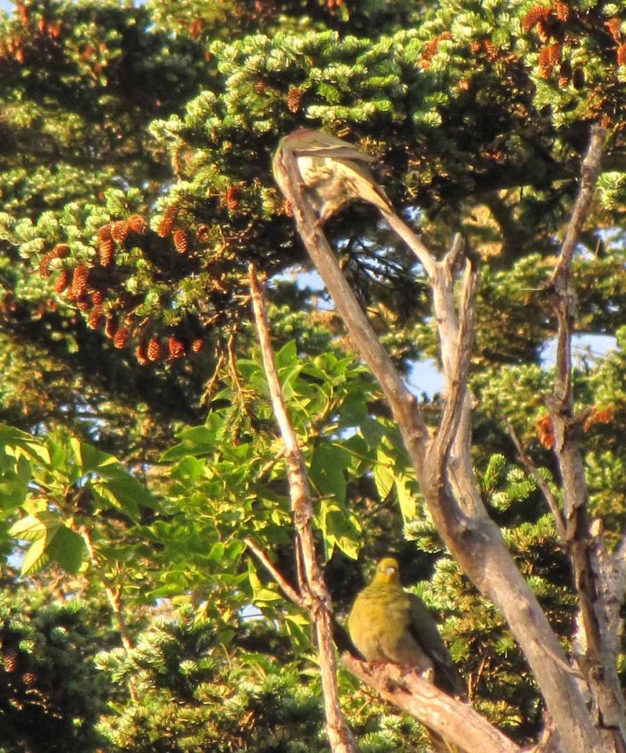 Самец исамка японского зелёного голубя, пос. Третьяково, Кунашир, 22 августа 2013. Автор фото: Лариса Сундукова