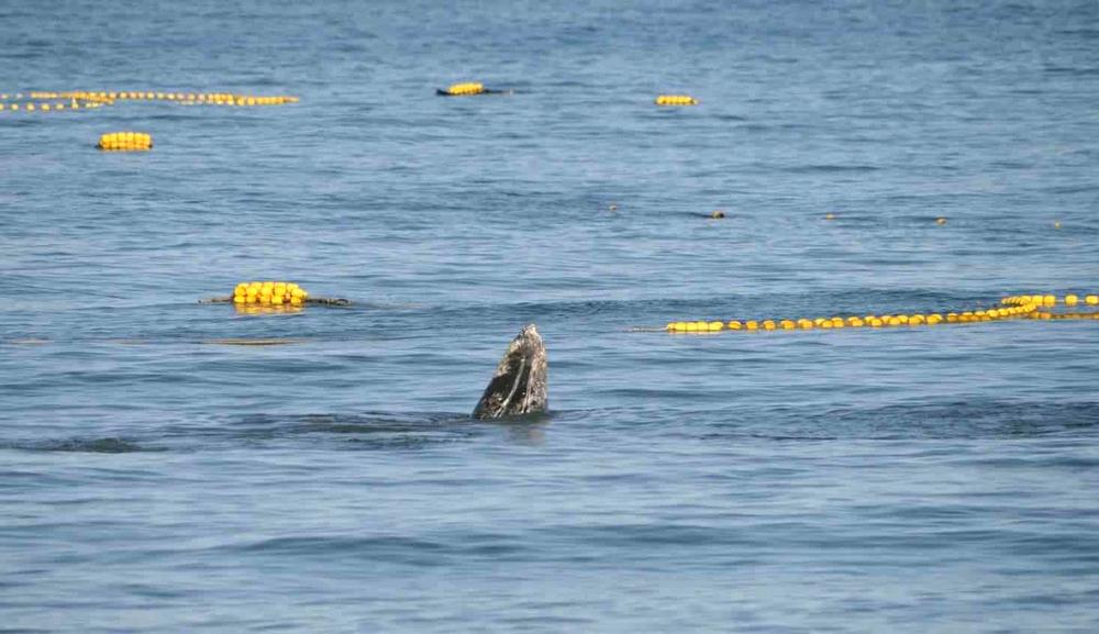 Серый кит в районе залива Пильтун — фото Питера ван дер Вольфа