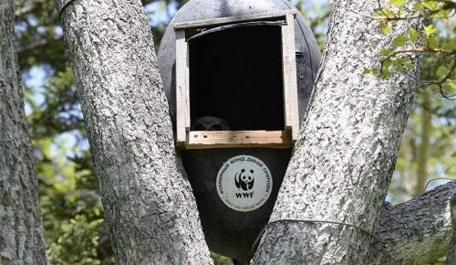 Птенец филина вискусственном гнезде