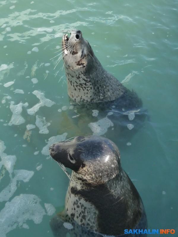 Поющий тюлень