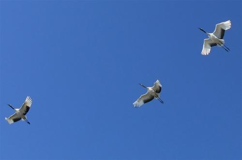 Семейство японских журавлей вполёте. Журавлёнок вцентре. Умолодых журавлей — серо-коричневый окрас шеии черные перья наконцах крыльев. Фото Александра Кислейко