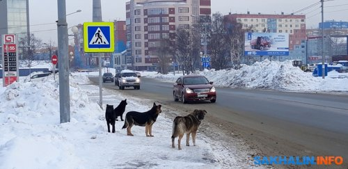 Южно-Сахалинск. Улица Ленина. Стая одичавших собак на дорожном переходе. 19.02.21