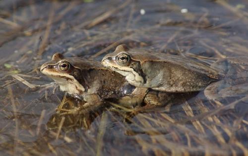 Любовные страсти хоккайдской лягушки