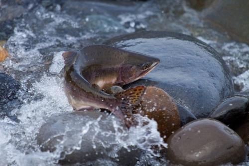 На Кунашире сокращается численность нерестящихся лососевых