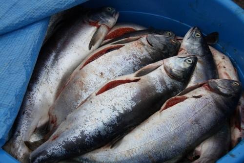Подпольные рыбопромышленники в Магадане получили условный срок