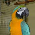 Семья пернатых обитателей Сахалинского зоопарка пополнилась сине-желтым попугаем ара