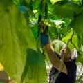 """Сахалинский совхоз """"Тепличный"""" почти на40% перевыполнил план попроизводству овощей закрытого грунта"""