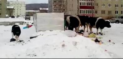 Коровы разворошили мусорный контейнер вНовоалександровске