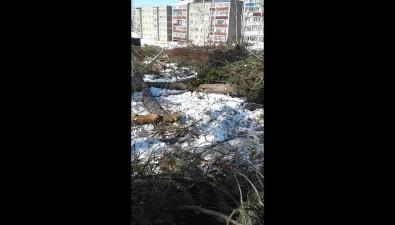 В Годэкологии вДолинске частично вырубили сосновую рощу Лебкова