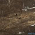 Медвежья семья вновь вышла кдороге вМакаровском районе