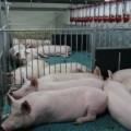 """В островные магазины поступило мясо совторой очереди свинокомплекса """"Мерси Агро Сахалин"""""""