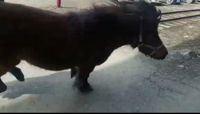 Потерявшийся пони развеселил южно-сахалинских железнодорожников
