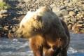 Миролюбивый медведь-блондин прогулялся возле больницы иавтопарка вСеверо-Курильске