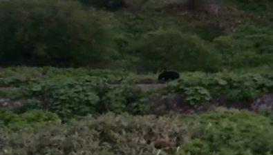 Выброс мойвы привлек внимание медведей врайоне Фирсово