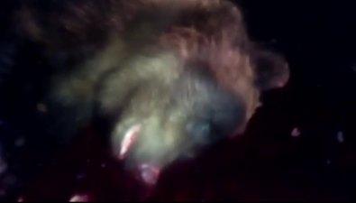 На Итурупе начался массовый выход медведей внаселенные пункты