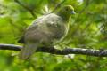 """Сотрудники заповедника """"Курильский"""" таки немогут точно определить, гнездится лина Кунашире зеленый голубь"""