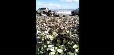 """Тайфун """"Талим"""" подарил сахалинцам тонны доступного гребешка"""